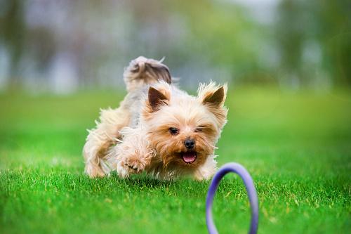 COLLAR PULLER MICRO Игрушка для собак миниатюрных пород и ...